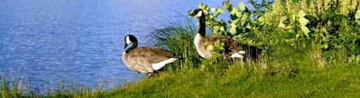 OWV28 Canadian Geese